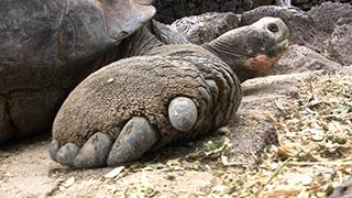 エクアドル/ガラパゴス諸島/サンタ・クルス島/ガラパゴスゾウガメ