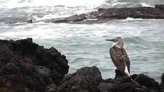エクアドル/ガラパゴス諸島/イサベラ島/ガラパゴスアオアシカツオドリ