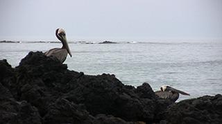 エクアドル/ガラパゴス諸島/イサベラ島/ガラパゴスカッショクペリカン