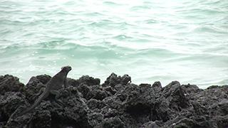 エクアドル/ガラパゴス諸島/イサベラ島/ウミイグアナ