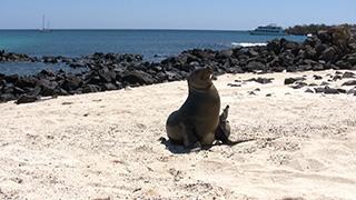 エクアドル/ガラパゴス諸島/サン・クリストバル島/ガラパゴスアシカ