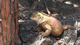 エクアドル/ガラパゴス諸島/サンタ・クルス島/ガラパゴスリクイグアナ