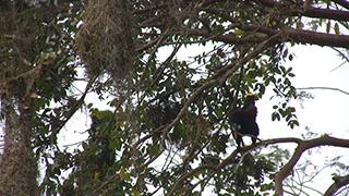 グアテマラ/ティカル国立公園/オオツリスドリ