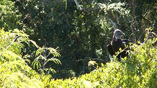 グアテマラ/ティカル国立公園/クロコンドル