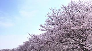 日本/埼玉/権現堂桜堤/桜