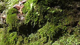 コケが生えた岩肌にしたたり落ちる湧水