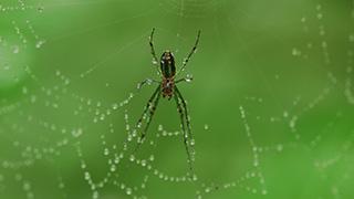 オオシロカネグモ/クモの巣に付く水滴