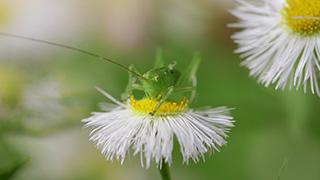 ハルジオンの花粉を食べるヤブキリの幼虫