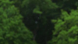 森に降る雨(前ピン)