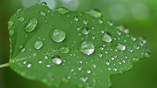 葉の上の水滴