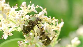 花粉を食べるコアオハナムグリ