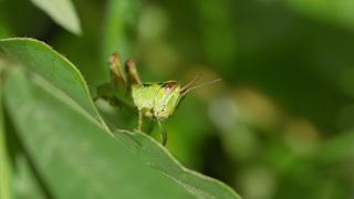 フキバッタの幼虫