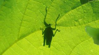 葉の上のバッタのシルエット