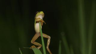 草から落下するニホンアマガエル