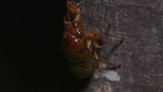 木を登るアブラゼミの幼虫