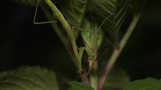 ガガンボを食べるオオカマキリ