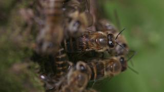 ニホンミツバチの威嚇行動