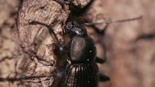 樹液を吸うクロカタビロオサムシ