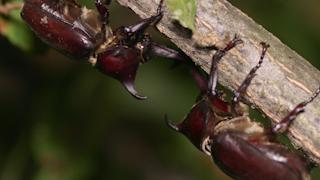 樹液をめぐって争うカブトムシ