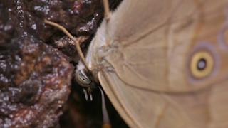 樹液を吸うヒカゲチョウ(ナミヒカゲ)