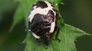 アカスジキンカメムシの幼虫