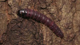ボクトウガの幼虫