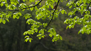 雨の中の新緑