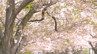 風に舞う桜の花びら