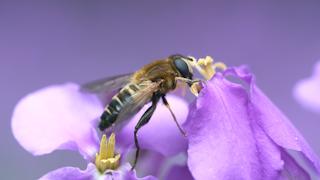 花粉を食べるアシブトハナアブ