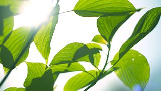 逆光の新緑