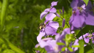ヒメハナバチ