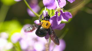 クマバチ(キムネクマバチ)