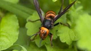 越冬から目覚めたオオスズメバチの女王バチ