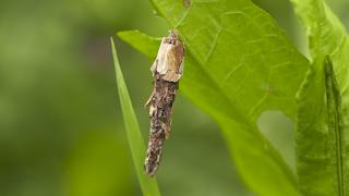 ミノガの幼虫(ミノムシ)
