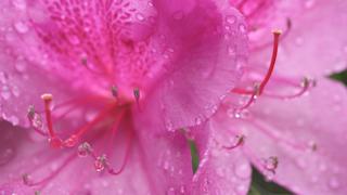ツツジの花と水滴