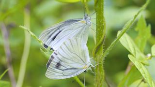 スジグロシロチョウの交尾