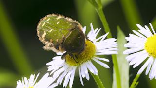 ハルジオンの花粉を食べるコアオハナムグリ