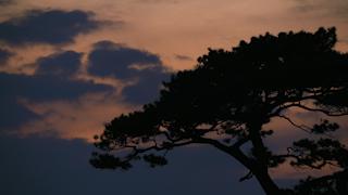 夕暮れの松の木