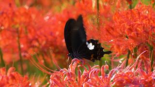 ヒガンバナで吸蜜するモンキアゲハ
