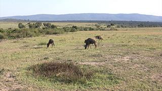 ケニア/マサイマラ国立保護区/ライオン・オグロヌー