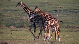 ケニア/マサイマラ国立保護区/マサイキリン