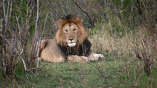 ケニア/マサイマラ国立保護区/ライオン