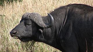 ケニア/マサイマラ国立保護区/アフリカスイギュウ