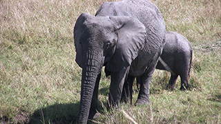 ケニア/マサイマラ国立保護区/アフリカゾウ