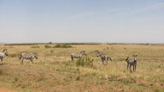 ケニア/マサイマラ国立保護区/グラントシマウマ