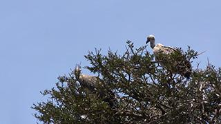 ケニア/マサイマラ国立保護区/ハゲワシ