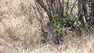 ケニア/マサイマラ国立保護区/チーター