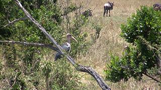 ケニア/マサイマラ国立保護区/アフリカハゲコウ