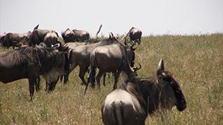 ケニア/マサイマラ国立保護区/オグロヌー