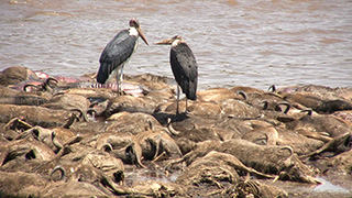 ケニア/マサイマラ国立保護区/オグロヌー(死骸)・アフリカハゲコウ